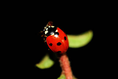 Lady Bug Climb Art Print by Nick Gustafson