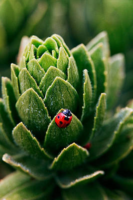 Lady Bug - Detailed Image Of A Red With Black Spots Lady Bug Art Print by Nature  Photographer