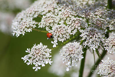 Photograph - Lady Bug Lace by Alycia Christine