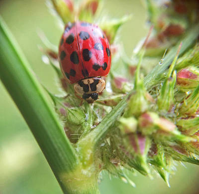 Photograph - Lady Bug On Barnyard Grass Macro by Robyn Stacey