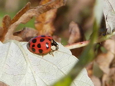 Photograph - Lady Bug by Peggy King