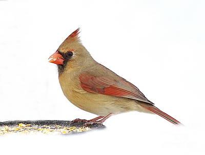 Photograph - Lady Cardinal by Andrea Kollo