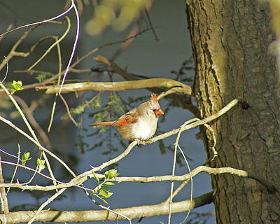 Photograph - Lady Cardinal In Tree by Margie Avellino