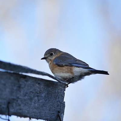 Photograph - Lady Eastern Bluebird by rd Erickson