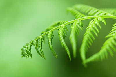 Photograph - Lady Fern Frond by Robert Potts