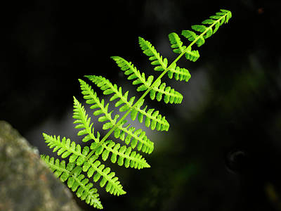 Photograph - Lady Fern by Inge Riis McDonald