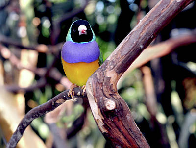 Photograph - Lady Gouldian Finch by Haleh Mahbod