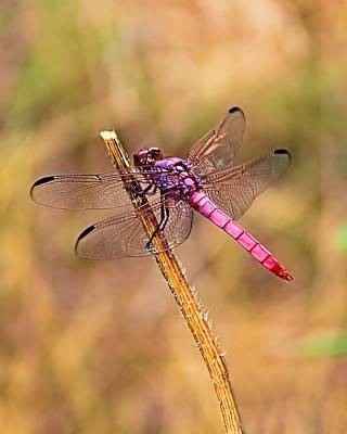 Dragonfly Photograph - Lady In Pink by Elizabeth Budd