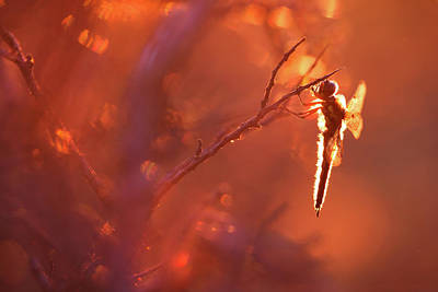 Dragonfly Art Photograph - Lady In Red by Roeselien Raimond