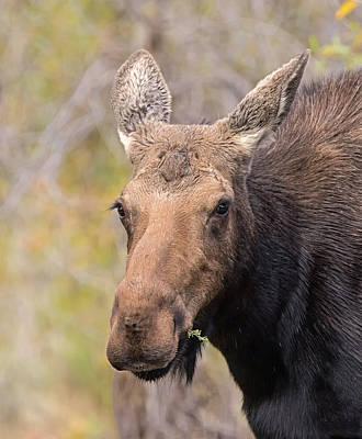 Photograph - Lady Moose by Loree Johnson