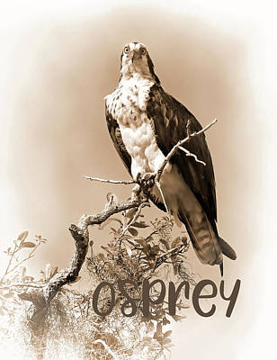 Photograph - Lady Osprey 2 by HH Photography of Florida