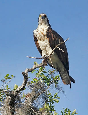 Photograph - Lady Osprey by HH Photography of Florida