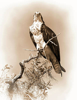Photograph - Lady Osprey In Sepia And White by HH Photography of Florida
