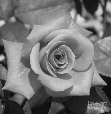 Photograph - Lady Rose by Sara Raber