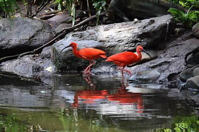 Scarlet Ibis 1 Art Print by Bruce Miller