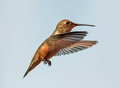 Photograph - Lady Rufous by Loree Johnson