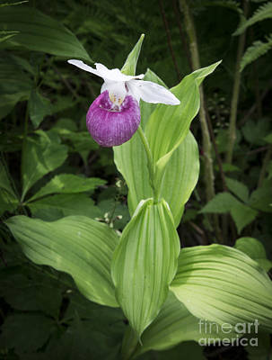 Photograph - Lady Slipper Flower by Edward Fielding