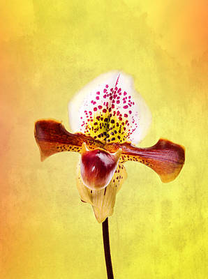 Lady Slipper Orchid Art Print by Mark Rogan