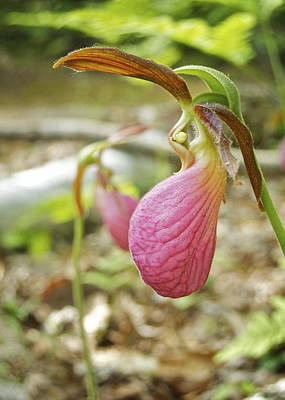 Ladys Slipper Photograph - Lady Slipper Profile by Michael Peychich