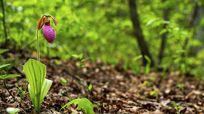 Photograph - Lady Slipper Woods Georgia Mountains by Lawrence S Richardson Jr