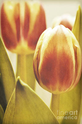 Lady Tulip Art Print by Angela Doelling AD DESIGN Photo and PhotoArt
