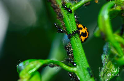 Photograph - Ladybird And The Ants By Kaye Menner by Kaye Menner