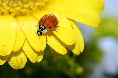Ladybird Beetle A Ladybug Art Print by Laura Mountainspring