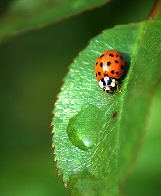 Photograph - Ladybird by Chris Day