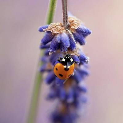 Animal Photograph - Ladybird On Norfolk Lavender  #norfolk by John Edwards