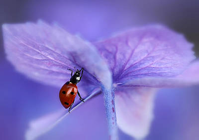 Ladybird On Purple Hydrangea Print by Ellen Van Deelen