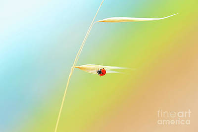 Photograph - Ladybird On The Wheat Stem by Anna Om