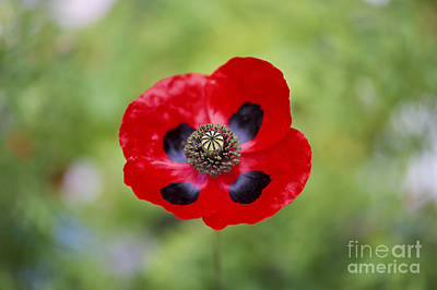 Ladybird Poppy Print by Tim Gainey
