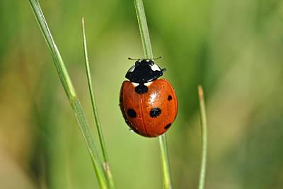 Photograph - Ladybug 1 by Isam Awad