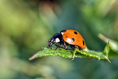 Photograph - Ladybug 2 by Isam Awad