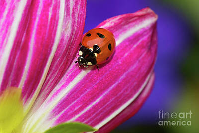 Photograph - Ladybug And Brilliant Colors by Mimi Ditchie