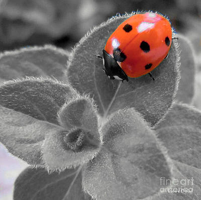 Photograph - Ladybug And Oregano Sc by Robert ONeil