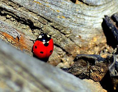 Photograph - Ladybug Beetle by Kimberly-Ann Talbert