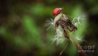 Photograph - Ladybug by Bianca Nadeau