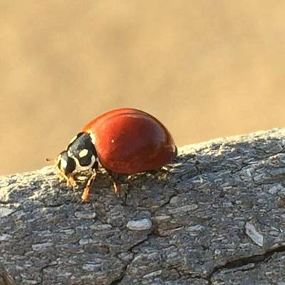 Photograph - Ladybug Dance #maui #mauihawaii #ladybug by Darice Machel McGuire