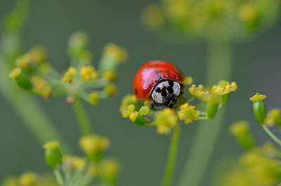 Ladybug In Red Art Print by Janet Rockburn