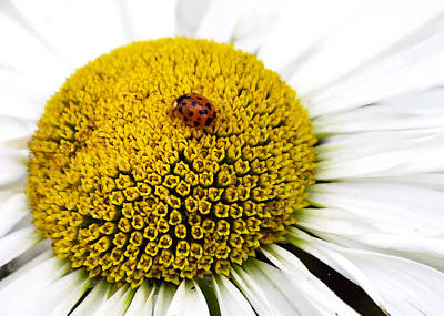 Photograph - Ladybug Ladybug Fly Away Home by Rhonda McDougall