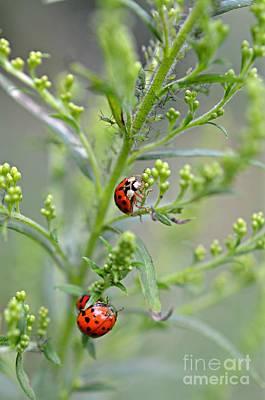 Photograph - Ladybug Ladybug... by Lila Fisher-Wenzel