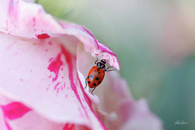 Photograph - Ladybug Lifting Petal by Diana Haronis