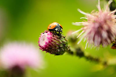 Little Critters Photograph - Ladybug Macro by Jeff Swan