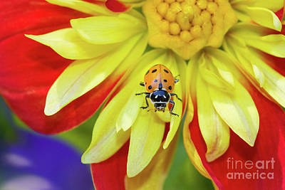 Photograph - Ladybug On A Dahlia by Mimi Ditchie