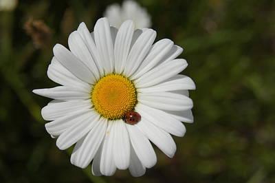 Photograph - Ladybug On A Daisy by Angi Parks