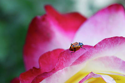Photograph - Ladybug On A Rose by Diana Haronis