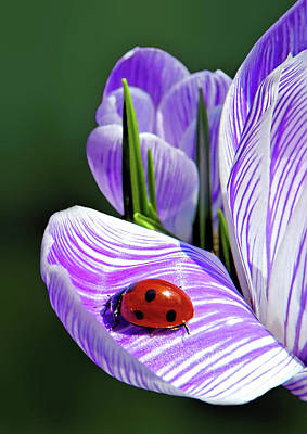 Photograph - Ladybug On A Spring Crocus by Carolyn Derstine