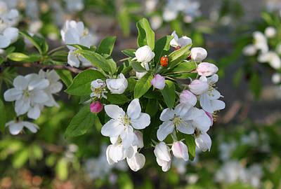 Ladybug On Cherry Blossoms Art Print