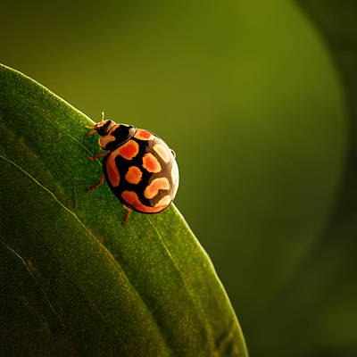 Dark Photograph - Ladybug  On Green Leaf by Johan Swanepoel